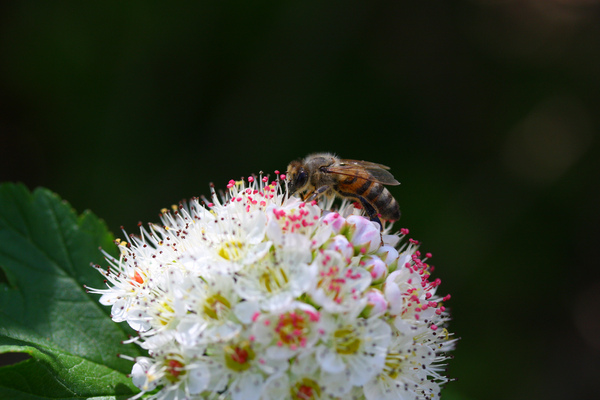 Busy bee: Close-up of a bee on a blossom