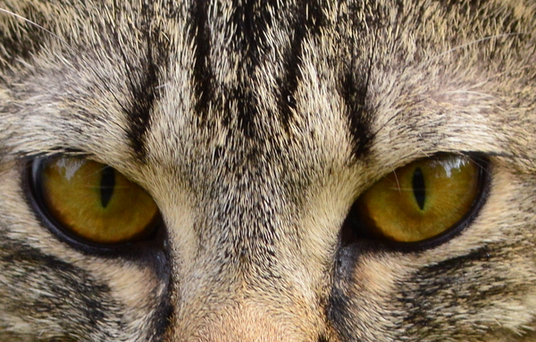 Tabby Cat Eyes: Tabby Cat Eyes