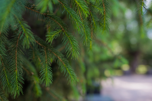 Closeup of fir tree: Shallow depth of field