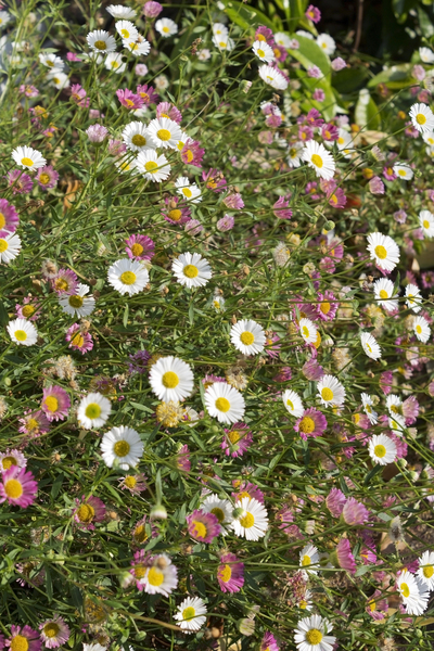 Erigeron flowers: Erigeron flowers - pink turning white - in a garden in England.