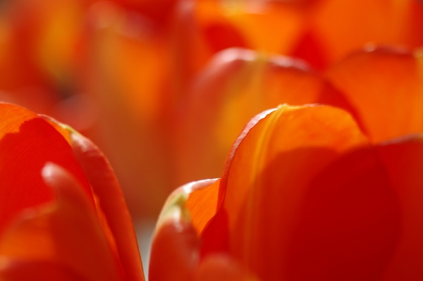 Tulips: Orange tulips. Close up / macro.