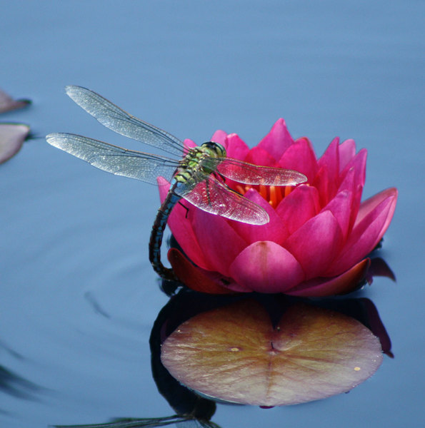 Dragonfly: dragonfly on lily