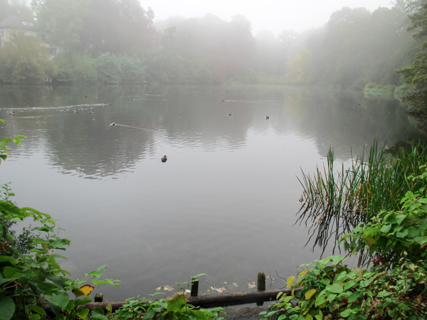 ducks on a foggy lake: ducks on a foggy lake