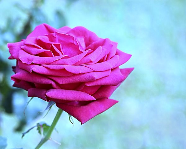 Pink Rose 4: A beautiful pink rose on a blue background. You may prefer:  http://www.rgbstock.com/photo/2dyVo13/Pink+Rose  or:  http://www.rgbstock.com/photo/mTAn6c4/Pink+and+Cream+Rose  Use within the RGB licence or contact me.