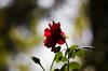Rose Silhouette