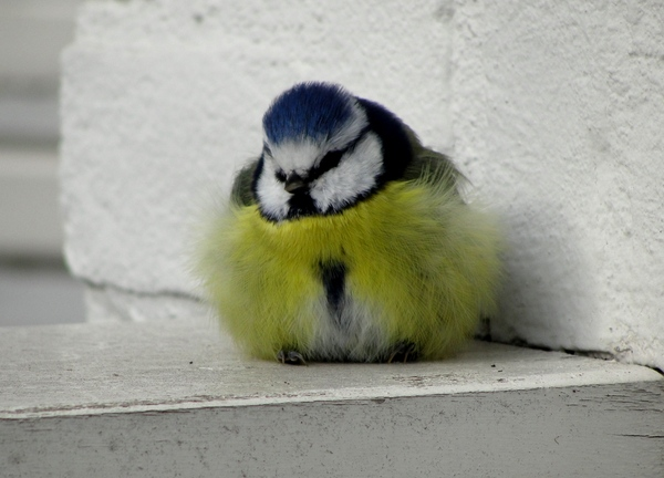 Sweet little tomtit bird: Tomtit bird taking a rest, showing us his furry feathers like a beautiful colourful costume of yellow and blue.