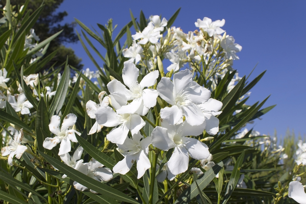 Free stock photos rgbstock free stock images oleander flowers oleander flowers white oleander flowers in catalunya spain mightylinksfo