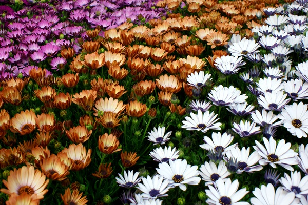 three colours flower carpet: Osteospermum plants