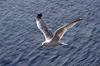 Seagull 11