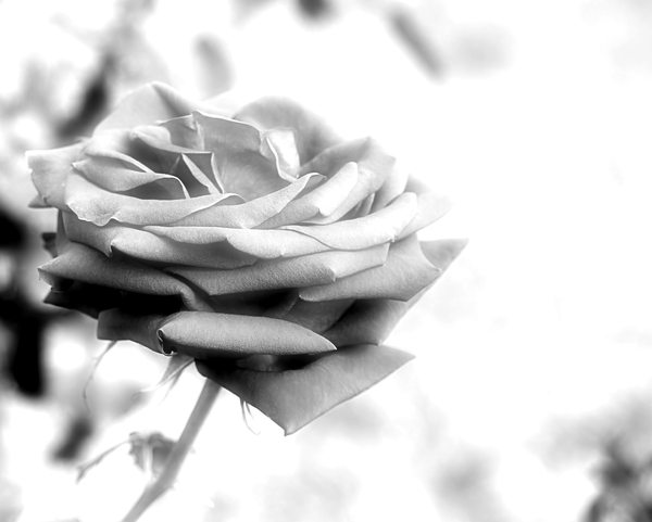 Black and White Rose 2: A beautiful black and white rose. You may prefer:  http://www.rgbstock.com/photo/mTAtNDE/Black+and+White+Rose  or:  http://www.rgbstock.com/photo/2dyVpyq/Rose+Dream  or:  http://www.rgbstock.com/photo/mikJqII/Abstract+Rose+3