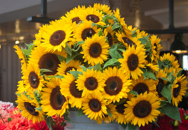 Market Sunflowers: Sunflowers in Pikes Market, Seattle.