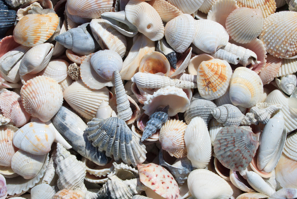 Sea Shells: Shells found in Florida