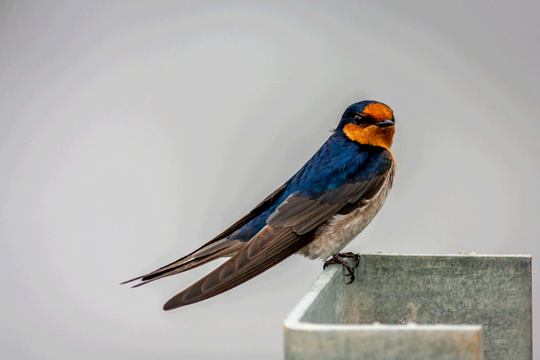 Swallow: The Welcome Swallow is Australia's most widespread swallow. It the can be seen fluttering, swooping and gliding in search of flying insects in almost any habitat, between city buildings, over farmland paddocks, in deserts, wetlands, forests and grasslan