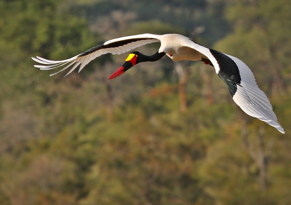 Saddle-billed stork flight: The saddle-billed stork is a large wading bird in the stork family, Ciconiidae. It is a widespread species which is a resident breeder in sub-Saharan Africa