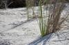 marram grass on beach