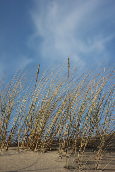 Rushes: Beach rushes and a blue cloudy sky.