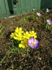 Aconite & Crocuses