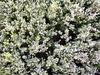 flowering diosma1
