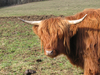 Hairy cow 2