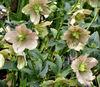 blooming helleborus3