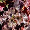 pelargonium light & dark red2