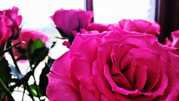 Roses are...: Close up picture of roses