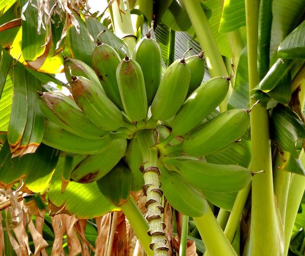 banana development2