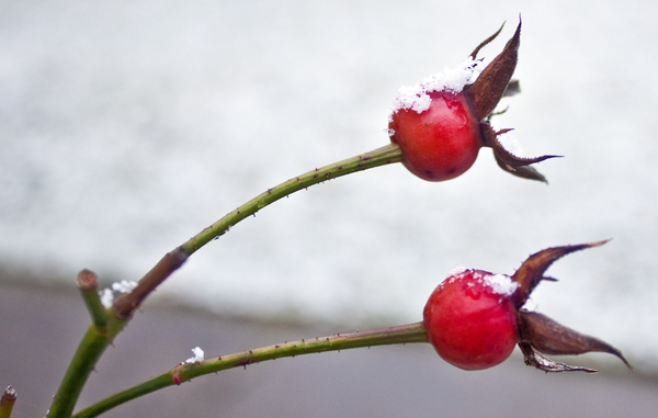 Snowy_berries: Rosehip berries with snow on them.