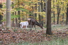 Roe Deer in the Autumn