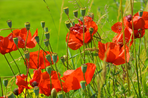 Poppies: Poppies on a summer day