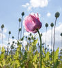 surviving pink poppy